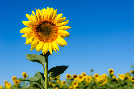 Landscape with sunflower. Summer background