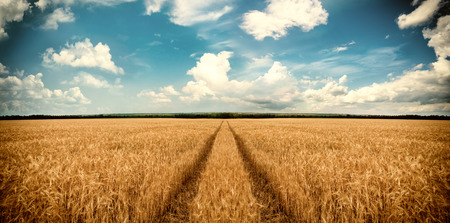 Road through wheat field. Landscape