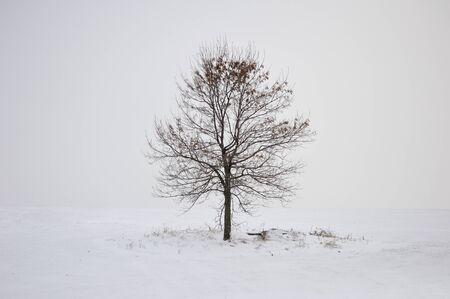 roble arbol: solo árbol de invierno en la nieve blanca Foto de archivo