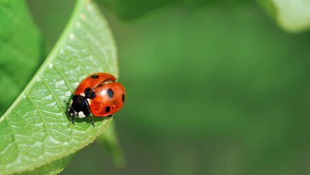 spring leaf: Ladybird on leaf. Fresh spring image