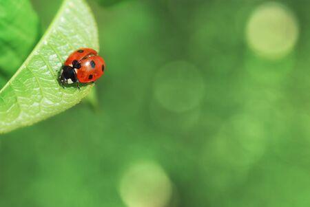 lady bug: Ladybird on leaf. Nature background