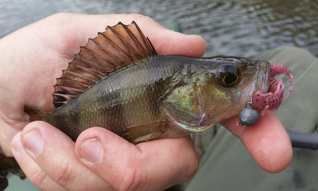 jigging: Perch with lure in his mouth