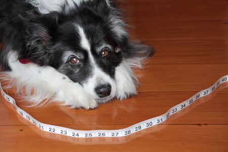 Elderley Border Collie Dog with Tape Measure
