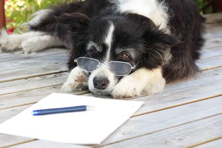 Elderly retired border collie dog with spectacles writing a novel Reklamní fotografie