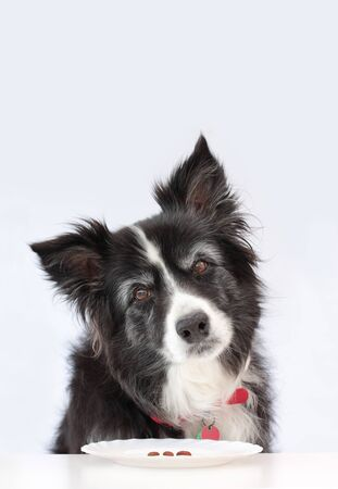 Elderly border collie dog wondering if she needs to be on a diet