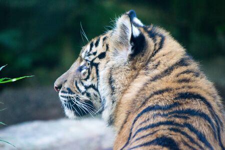 Tiger portrait blury background