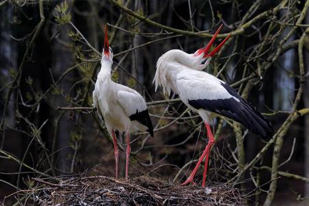 Storks in love Фото со стока - 80466429