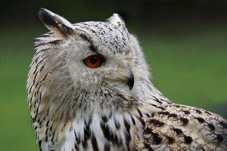 Sibirian Owl