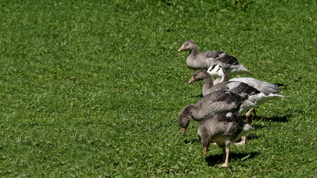 Young geese in a line