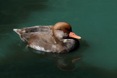 Pochard duck 版權商用圖片