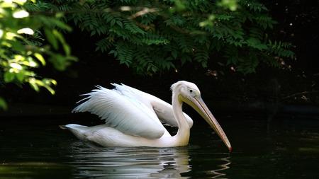 Pelican swimming Фото со стока - 81110542