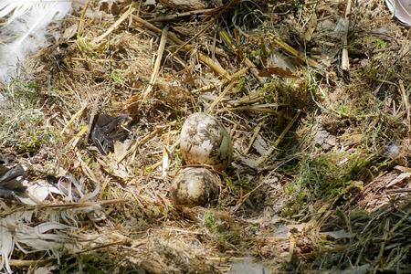 Eggs of white storks