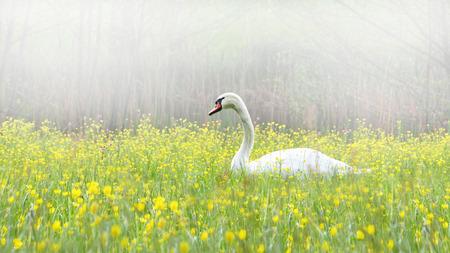 Swan in misty landscape