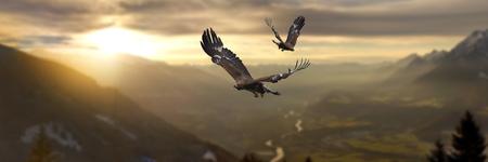 Golden Eagles Stock Photo