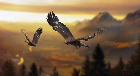 Golden Eagles in the alps 스톡 콘텐츠