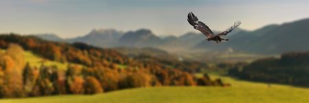 Golden Eagle in autumn landscape 版權商用圖片