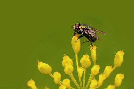 Closeup of a common greenbottle fly (Lucilia sericata) 版權商用圖片