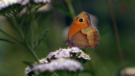 The meadow brown (Maniola jurtina), a bretty butterfly 版權商用圖片