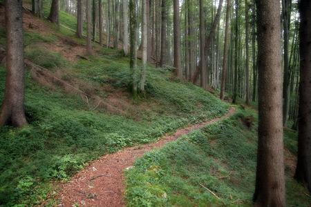 Walk through a coniferous forest