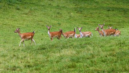 A herd of fallow deers