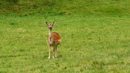 A female fallow deer