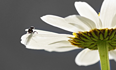 Insect clings to the blossom of a leucanthemum