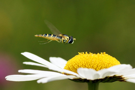 Hoverfly on a flower of Leucanthemum vulgare (oxeye daisy)