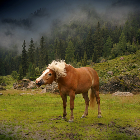 Nice haflinger horse with blond mane in Tyrol, Austria. Фото со стока