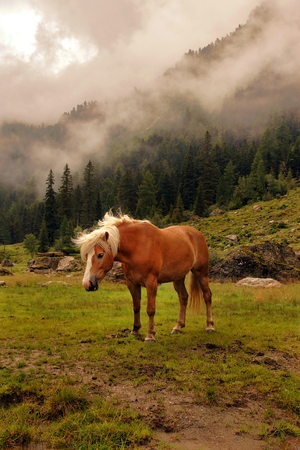 Haflinger horse on a meadow in the mountains, Tyrol, Austria.