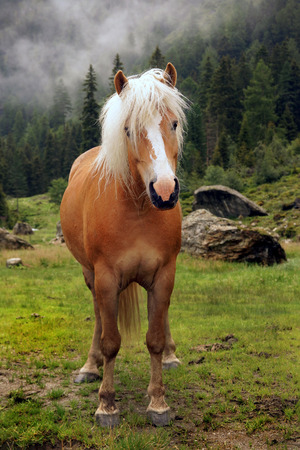 Nice haflinger horse with blond mane in Tyrol, Austria. Stock Photo