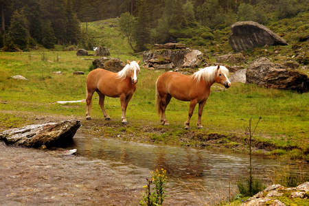 Two haflinger horses with blond mane in Tyrol, Austria. Фото со стока