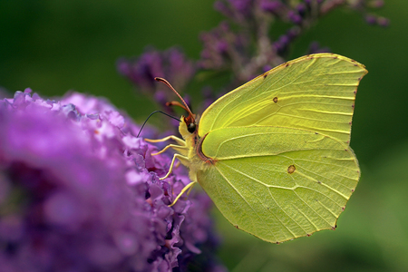 Gonepteryx rhamni (known as the common brimstone) is a butterfly of the family Pieridae.