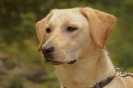 Portrait of a cute labrador 版權商用圖片