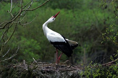 Portrait of a White Stork
