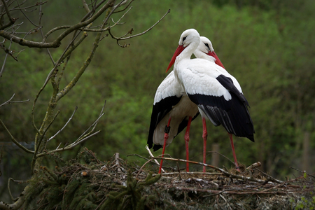 Springtime is time for love of storks