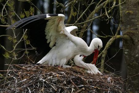 Couple of white stork in nest.