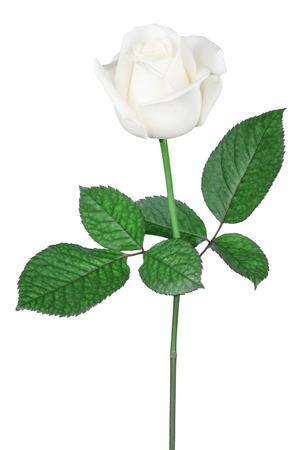 long stem roses: isolated white rose Stock Photo