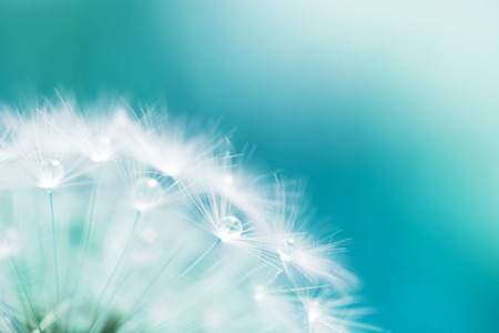 water spring: macro shot of a dandelion with drops Stock Photo