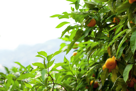 naranja arbol: �rbol de naranja  Foto de archivo
