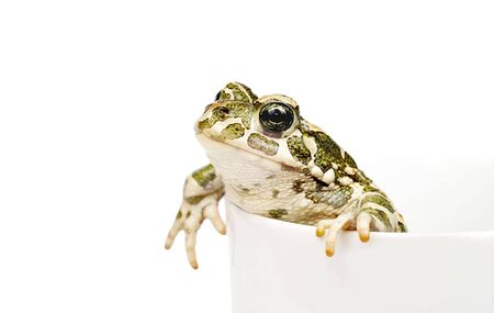 Green toad in cup photo
