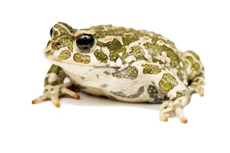 bulging: Green toad Stock Photo