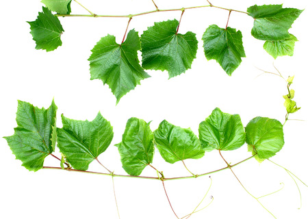 Green leafs over white photo
