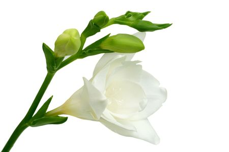 White freesia on white background Stock Photo