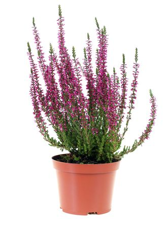 pot of heather in vase isolated on white