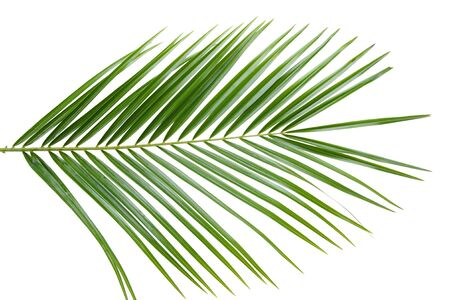 Green palm tree leaf isolated on white background