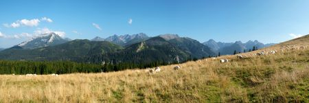 Tatra glade and grazing sheep on meadows photo