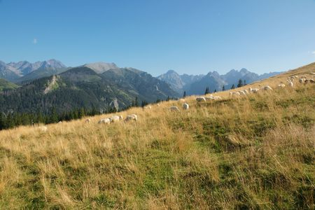 Tatra glade and grazing sheep on meadows Stock Photo - 5757214