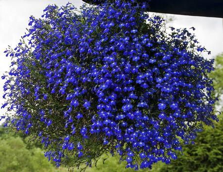 baal: Blue flower