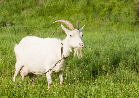 hitched: White goat on the pasture with green grass, chain hitched. Stock Photo