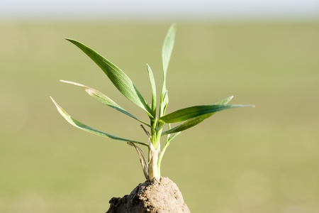 Young seedling of wheat planted in fertile soil